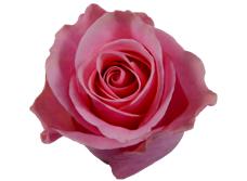 Light pink taccazi